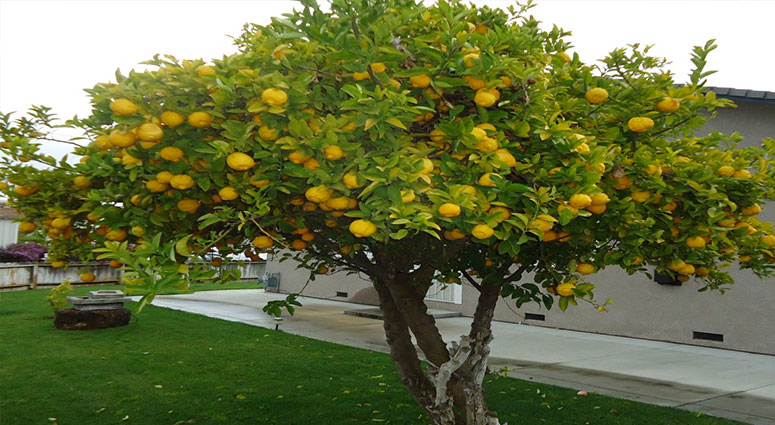 fruit tree pruning cape coral  tree service cape coral fl, Beautiful flower